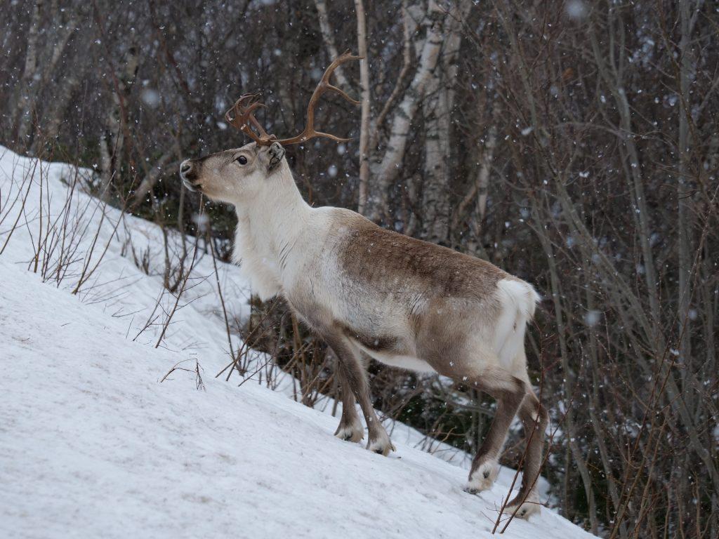 Una renna tra Skrollsvika e Å, Senja